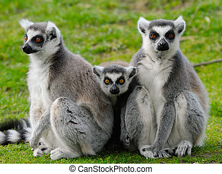 ring-tailed lemur family - close-up of a cute ring-tailed...