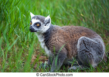 Ring-tailed lemur in the Tbilisi zoo, the world of animals