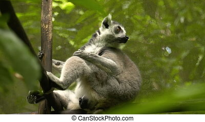 Ring tailed lemur resting on a wooden pole