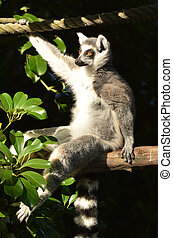 Ring-tailed lemur sit on a tree branch looks away.The...