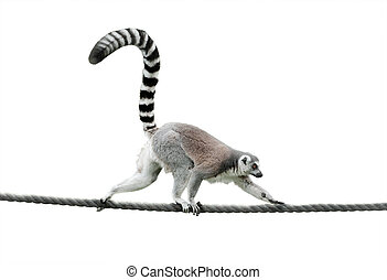 ring-tailed lemur walking on a rope isolated over a white ...