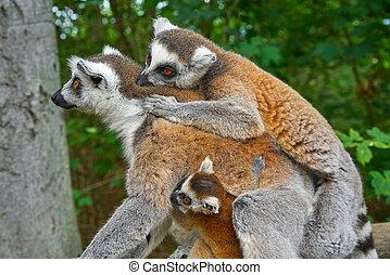 ring, tailed, lemurs, draußen, wald