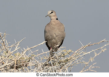 Ringed-necked dove or Cape-turtle dove, Streptopelia...
