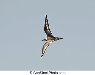 Ringed Plover (Charadrius hiaticula)