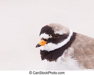 Ringed plover portrait