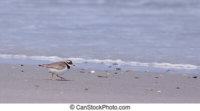 Ringed plover walking on a beach