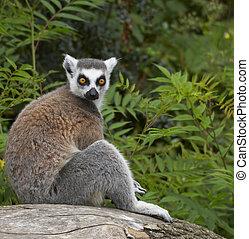 ringed-tailed, lemur