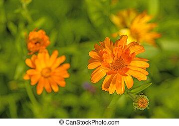 ringelblume, gemeinsam, kleingarten