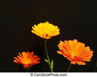 ringelblume, schwarzer hintergrund