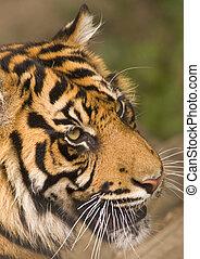 ringhiare, tiger