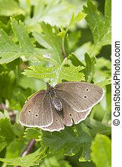 Ringlet butterfly (Aphantopus hyperanthus)