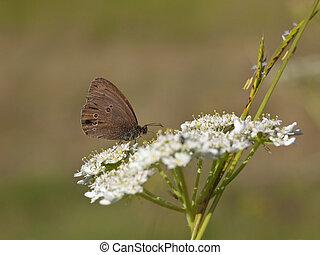 ringlet butterfly feeding