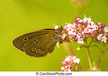 ringlet,Aphantopus hyperantus, on a flower of oregano