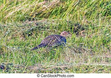 Ringneck Pheasant Female (Phasianus colchicus) Ring necked Pheasant