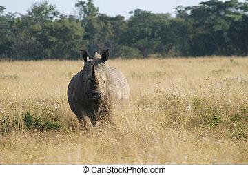 rinoceronte, mirar fijamente
