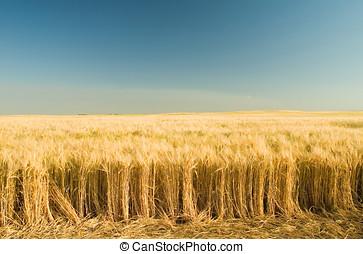 Rip golden wheat 3 - Ripe golden wheat field.