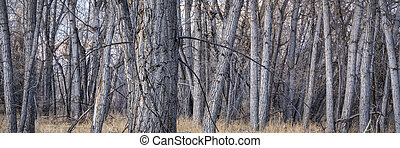 Riparian forest along the Poudre River in northern Colorado, fall scenery, panoramic web banner