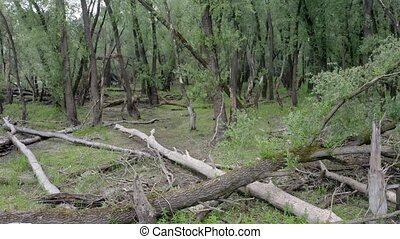 Riparian forest with trees lying on the ground in summertime