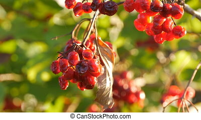 Ripe and overripe red viburnum on tree close up view - Ripe...