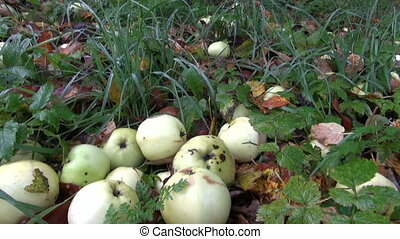 Ripe and rotten apples fallen on the ground - Autumn apples...