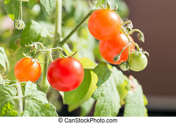 Ripe and unripe tomatoes - Ripe and unripe small tomatoes in...