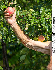 Ripe apple on a tree in the hand of his grandfather