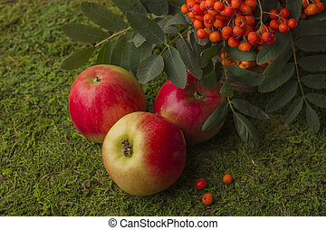 Ripe apples and fruits of red mountain ash with green leaves