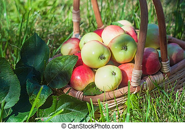 ripe apples in a basket on a grass