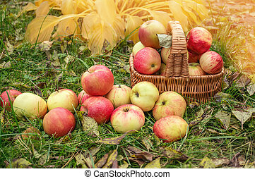 Ripe apples in a basket on the grass. Harvest. Festival