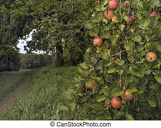 Ripe Apples In A Garden