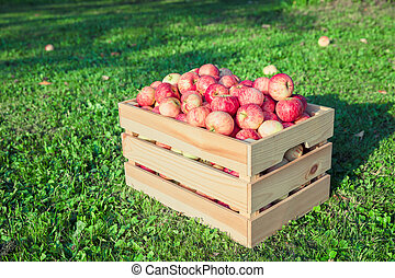 Ripe apples in a wooden box