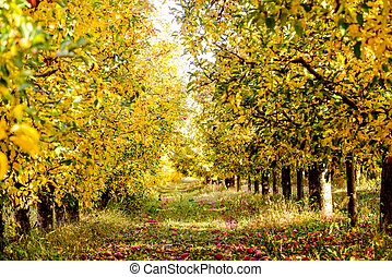 ripe apples in an orchard in autumn