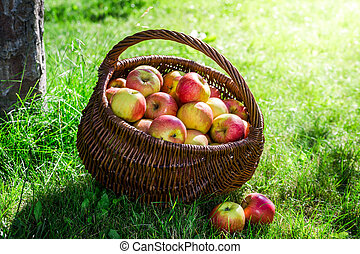 Ripe apples in garden