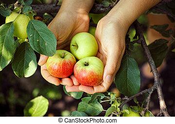 Ripe apples in hands