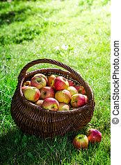 Ripe apples in sunny day