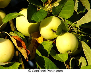 Ripe apples lit by the evening sun