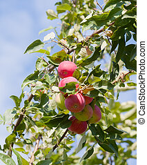 Ripe apples on a branch against the blue sky