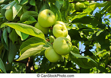Ripe apples on a branch