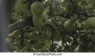 Ripe apples on a branch.