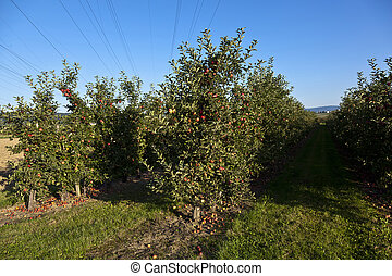 ripe apples on a tree branch with blue sky