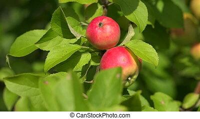 Ripe apples on apple tree branch. 4K.