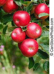 Ripe Apples on Branch.