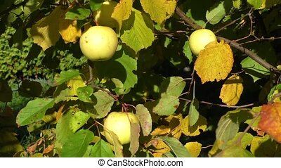 Ripe apples on the tree