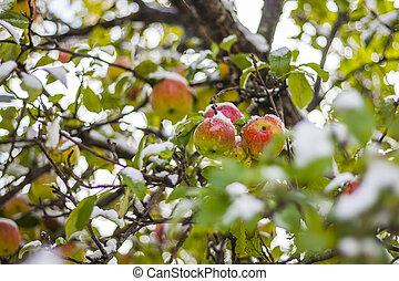 Ripe apples on tree under fresh early season snowfall