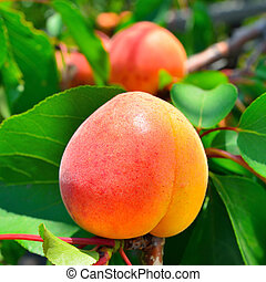 Ripe apricot grows on a branch