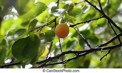 Ripe apricot on branch after rain. Fruits before harvest in...