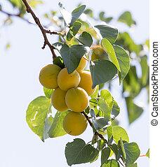 ripe apricot on tree