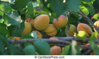 Ripe apricots on a branch