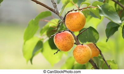 Ripe apricots on tree in the orchard