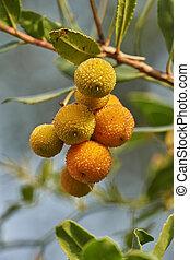 ripe arbustus on tree